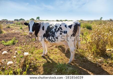 Menorca friesian cow grazing near Ciutadella Balearic Islands cattle - stock photo