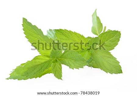 Mentha piperita  / Swiss mint - stock photo
