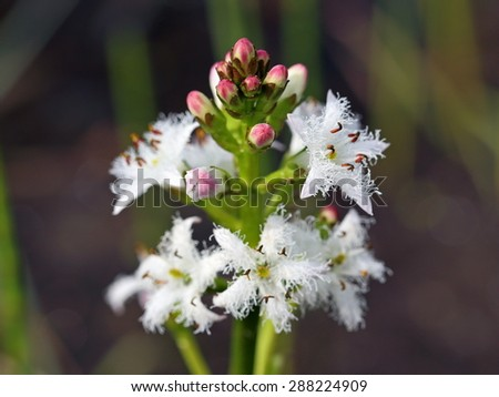 Menyanthes trifoliata. The blossoming plant close up - stock photo