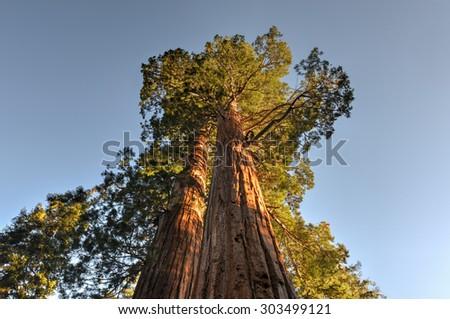Merged Giant Sequoia Trees in Sequoia National Park, California. - stock photo