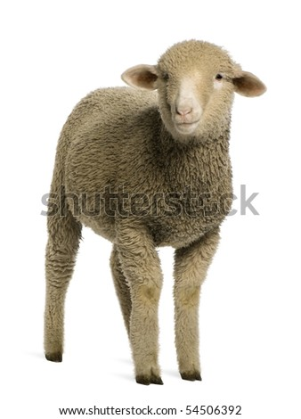 Merino lamb, 4 months old, portrait, in front of white background - stock photo