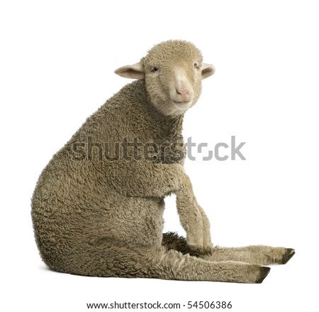Merino lamb, 4 months old, sitting in front of white background - stock photo