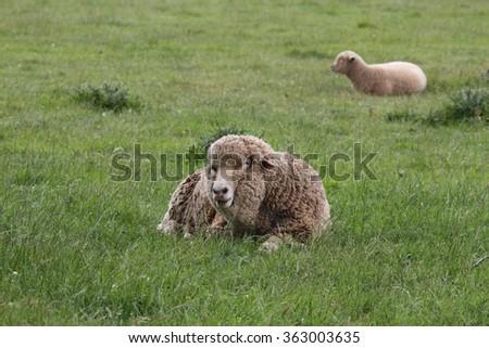 merino sheep in longford historic brickendon area tasmania - stock photo