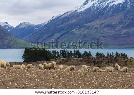 Merino Sheep in New Zealand in a cloudy day