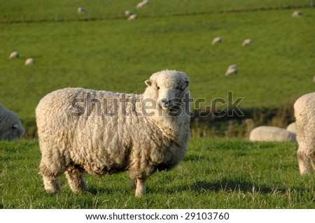 Merino Sheep on grass pasture - stock photo