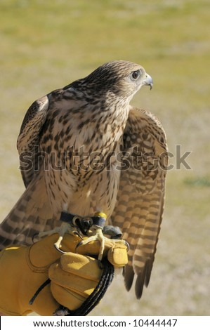 Merlin/Geofalcon crossbred sitting on the glove of a falconer