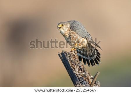 Merlin - Male - stock photo