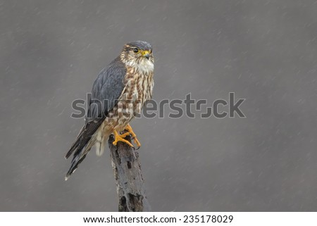 Merlin on a Perch - stock photo