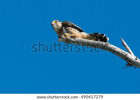 Merlin perched on a dead branch holding a dragonfly.