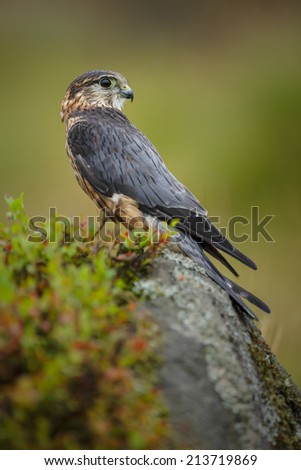 Merlin, sitting on a sandstone boulder in the Yorkshire Moors - stock photo