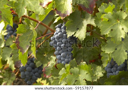 Merlot grape in Saint Émilion - stock photo