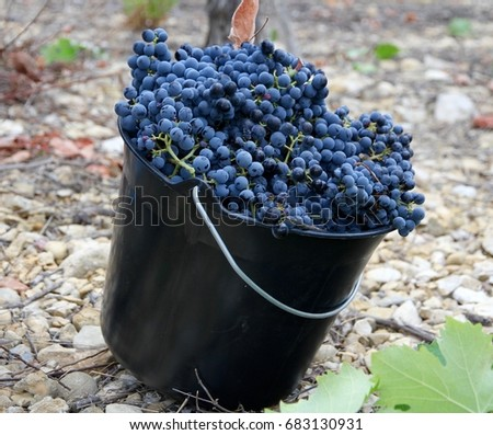 Merlot grapes freshly harvested in the Languedoc wine growing region in the south of France.