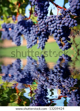 Merlot Grapes on Vine in Vineyard Reflecting in Water - stock photo