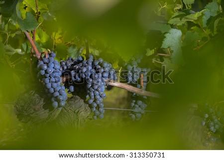 Merlot grapes vineyard Bordeaux - stock photo