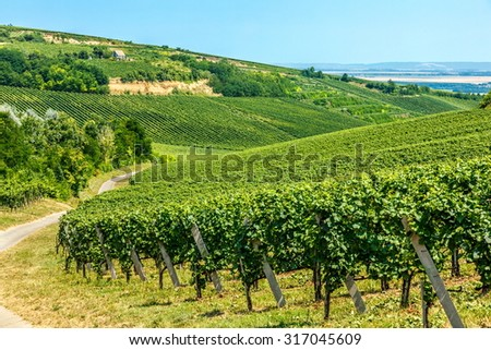 Merlot green grapes in a vineyard in Villany, Hungary - stock photo