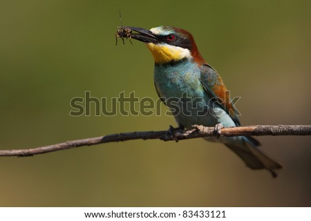 Merops apiaster / European bee-eater - stock photo