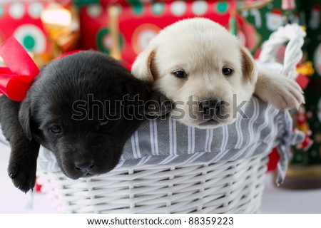 Merry Christmas -cute puppies in a Christmas gift - stock photo