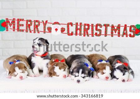 Merry Christmas decorations and sleeping little cute Siberian Husky puppies - stock photo