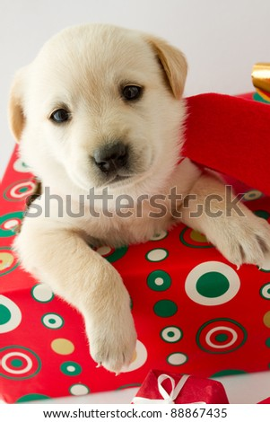 Merry Christmas - portrait of cute labrador puppy for Christmas gift - stock photo