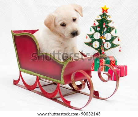Merry Christmas - portrait of cute labrador puppy in Christmas sledge - stock photo