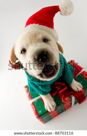 Merry Christmas - portrait of cute  labrador puppy with Christmas gift - stock photo