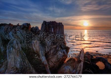 Mesmerizing driftwood on a sandy beach at sunset - stock photo