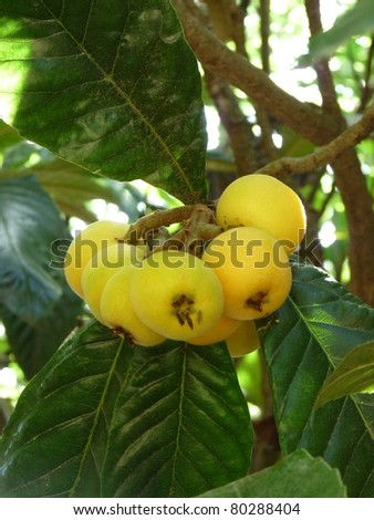 Mespilus germanica, known as the common medlar is a large shrub or small tree, and the name of the fruit of this tree.Mespilus germanica fruit are very hard and acidic.
