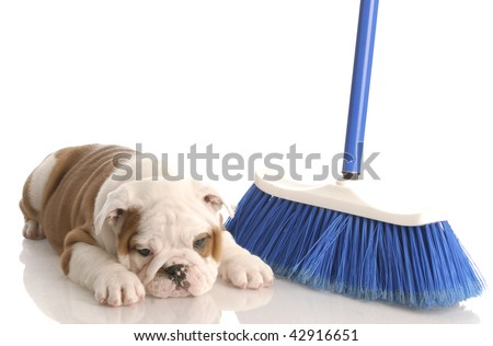 messy dog - english bulldog puppy laying beside a blue broom - stock photo
