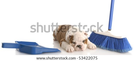 messy dog - english bulldog puppy laying beside a blue broom and dust pan - stock photo