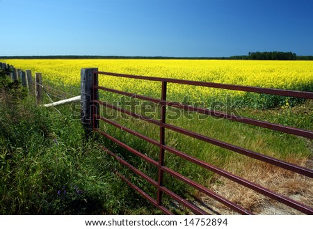 metal gate to a colza field under a  blue sky - stock photo