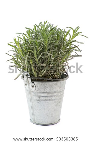 Metal pot with lavender young plant isolated on white background