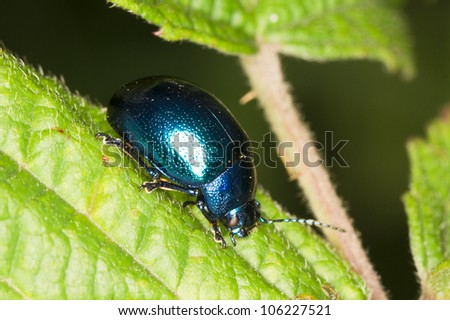 metallic blue beetle on a green leaf close-up / Chrysomela sp. - stock photo