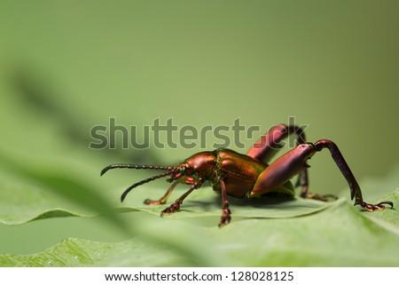 Metallic Frog Leg Beetle (Sangra Femorata) on a leaf - stock photo