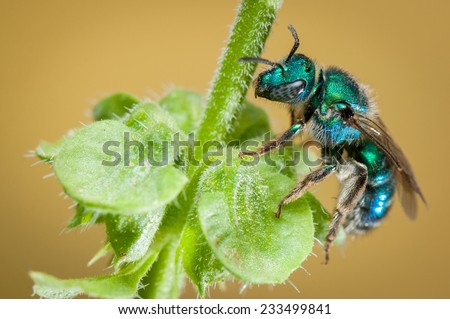 Metallic Green Bee (Agapostemon sp.) feeding on nectar. Patagonia, Argentina, South America. - stock photo