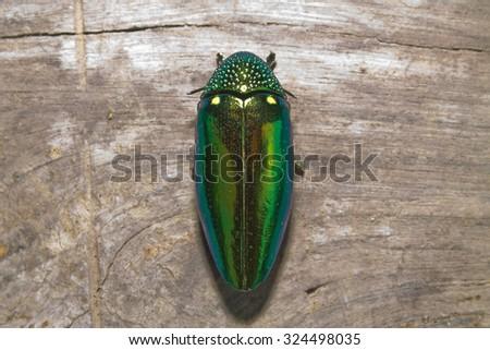 metallic wood-boring beetle - stock photo