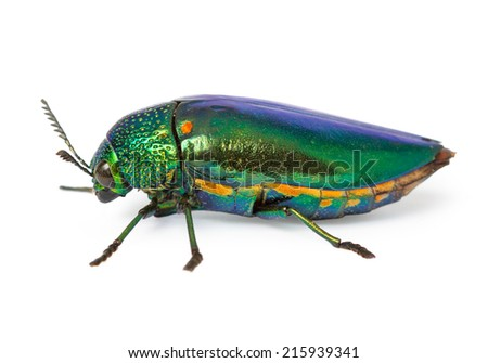 metallic wood-boring beetle on white background with Clipping Path. - stock photo