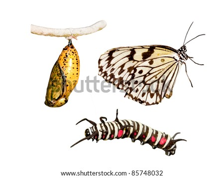 Metamorphosis (life cycle) of the butterfly - stock photo