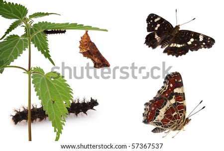 Metamorphosis (Life cycle) of the Map Butterfly (Araschnia  levana), showing caterpillar, chrysalis and adult. - stock photo