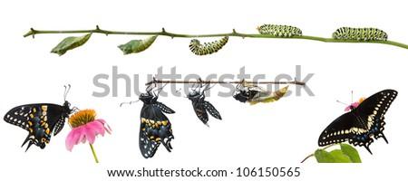 Metamorphosis of Butterflies   Eastern Black Swallowtail (Papilio polyxenes) - stock photo