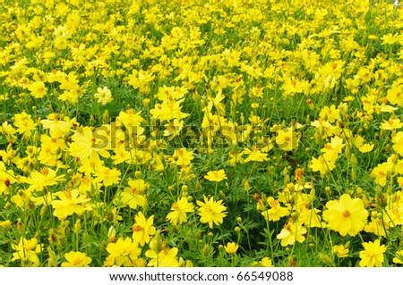 yellow asters lizenzfreie bilder und vektorgrafiken kaufen, Beautiful flower