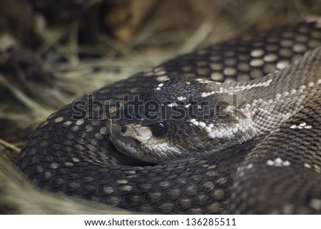 Mexican Black Tailed Rattlesnake, Crotalus Molossus Nigrescens - stock photo