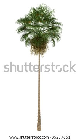 Mexican Fan palm tree isolated on white background - stock photo