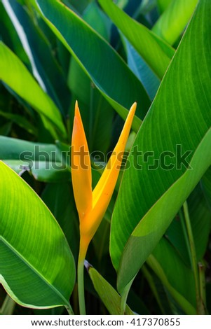 Mexican Gold Heliconia 2 - stock photo