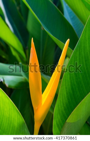 Mexican Gold Heliconia 1 - stock photo