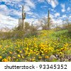 Mexican Gold Poppies stay open until the last light of the day. - stock photo