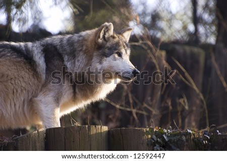 Mexican Gray Wolf - stock photo