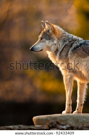 Mexican gray wolf (Canis lupus)