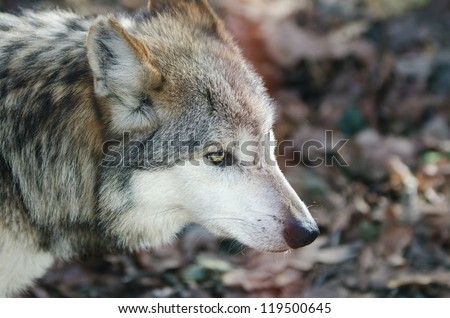Mexican Grey Wolf (Canis lupus baileyi) - stock photo