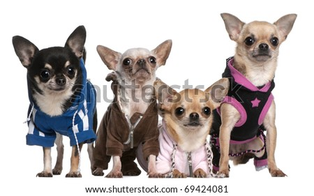 Mexican Hairless dog and Chihuahuas in front of white background - stock photo