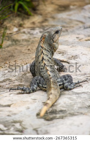 Mexican iguana lying on the stone